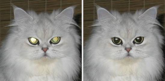 Cat's red eyes with shining pupil fix