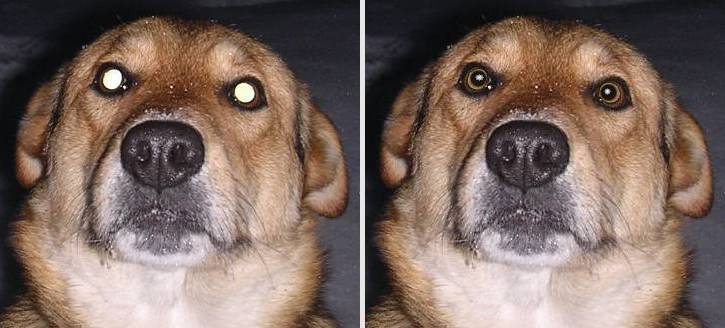 Dog's fully light-struck red eyes fix